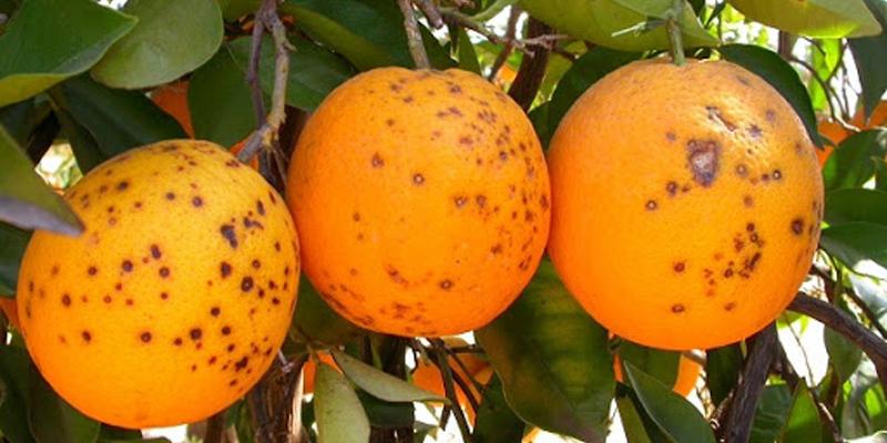 citricos3